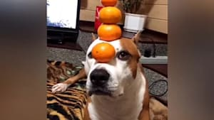 Skillful pup balances tangerines on top of head