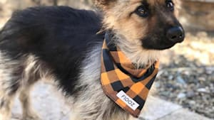 Adult german shepherd can't outgrow puppy body