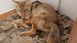 Mistaken Identity Saves Coyote Struck By Car In Manitoba