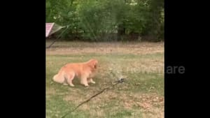 Golden Retriever is NOT amused by sprinkler