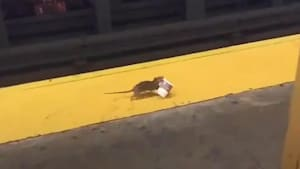 New York subway rat scurries away with coffee cup