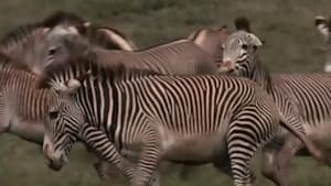 Climate change threatens to eliminate Grevy zebras