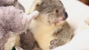 Cuteness overload! Check out this cute baby koala