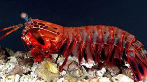 Unglaubliche Superkraft: Forscher lüften das Geheimnis der Fangschreckenkrebse