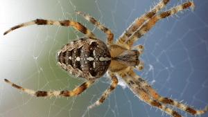 Gefährliche Spinne versteckt sich in Möbeln: Ihr Gift lässt menschliche Haut verwesen