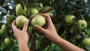Top Tips for Apple Picking Season