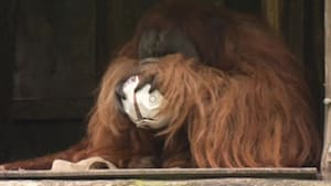 Orangutan Predicts Outcome of Saturday's German Cup Final