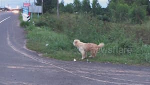Loyal pet dog has been waiting by the roadside for FOUR years after 'falling from owner's truck