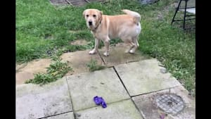 Dog pops balloon, can't understand what just happened