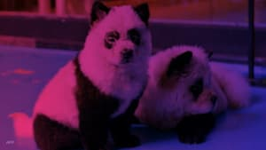 'Panda dog' café sparks China animal rights debate