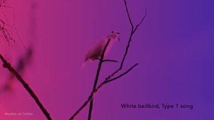 White bellbird boasts loudest birdsong ever recorded