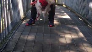 Silly dog tries to air swim across bridge
