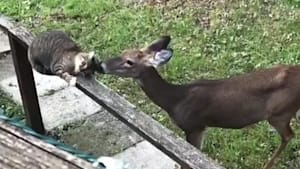 Deer caught on camera giving kisses to a kitty