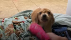 Abandoned 'unicorn' puppy has a tail on its head