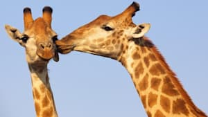 Car Accident In South Africa Claims Lives Of A Giraffe And A Tourist