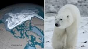 How sea ice is truly affecting polar bears and what may be next for them