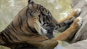 Sumatran tiger kills an Indonesian farmer, prompting fears among residents