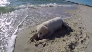 Dog is furious with the ocean after it fills his newly dug hole