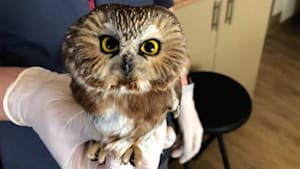 This owl was rescued after being struck by a car