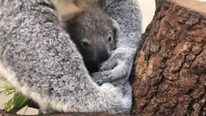 Koala named 'Hope' in honor of wildfire victims