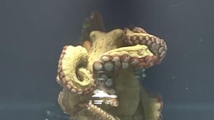 This octopus takes the lid off of a closed jar
