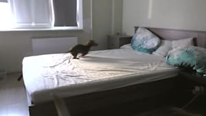 Puppy loses it after being allowed to play on bed