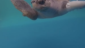 Goody The Sea Turtle Learns How To Swim Again With A Prosthetic