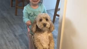 Watch this little girl push her dog in a stroller