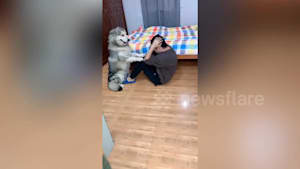 Alaskan Malamute helps owner do sit-ups