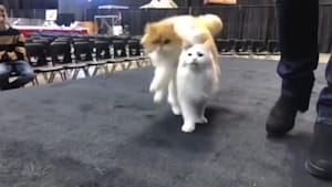 These cats are trained to jump over each other