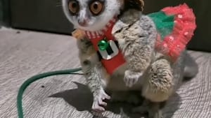 This adorable little pet bushbaby is named Nobel