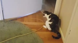 Cat Bends Body and Walks Weirdly While Holding String in Mouth