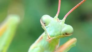 Praying Mantis cleans its limb