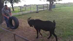 Billy goat loves to play with tire swing