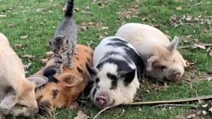 Cat rests on napping piglet's back