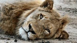 Ausgehungerte Löwen im Zoo: Aktivist schenkt nun erste Hoffnung