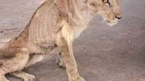 People are fighting to help save starving lions