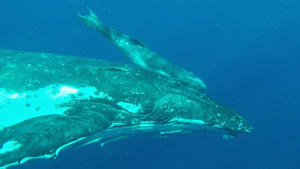 Mother and baby humpback greet swimmers