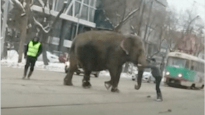 Elephants escape Russian circus
