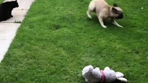 Typical cat totally ignores dancing doggy