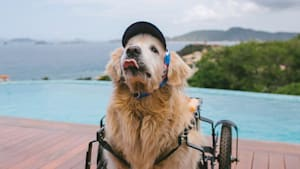 Dog swims in pool despite being in a wheelchair
