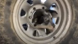 This puppy got their head stuck in a wheel