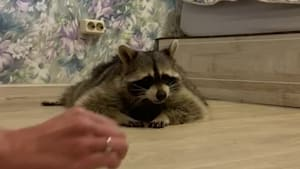 Raccoon crawls on belly for snacks