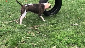 Bull terrier struggling with a tire is all of us