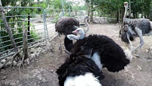 Ostrich performs funky dance to attract the ladies