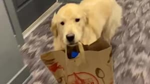 Golden retriever makes an adorable delivery boy
