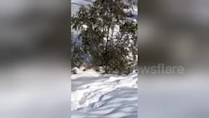 Pug trips over its winter coat in the snow