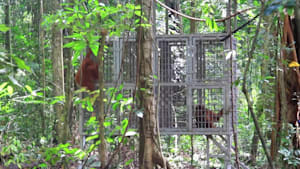 Rescued orangutans released into the jungle