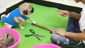 Adorable pug plays rock, paper, scissors with owner