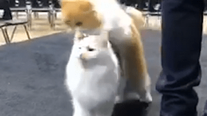 Cute cats can't stop jumping over one another